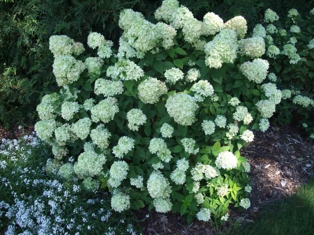 Hydrange paniculata 'Little Lime' Quelle: pflanzmich.de