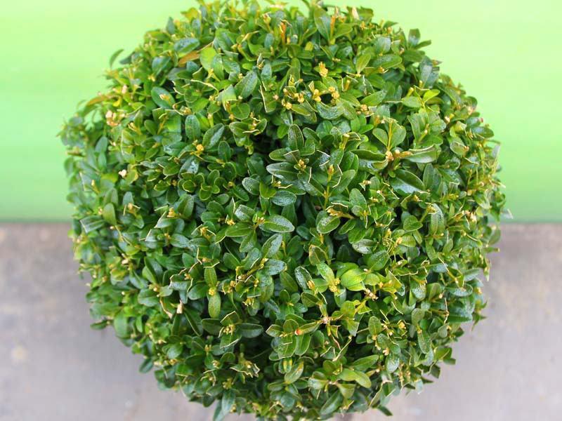 buxus-buchsbaum-kugel