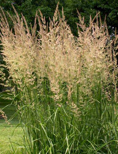 garten-reitgras_calamagrostis-x-acutiflora-karl-foerster1