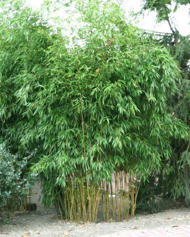 bambus-aureosulcata-spectabilis_phyllostachys-aureosulcata-spectabilis1 Quelle: pflanmich.de