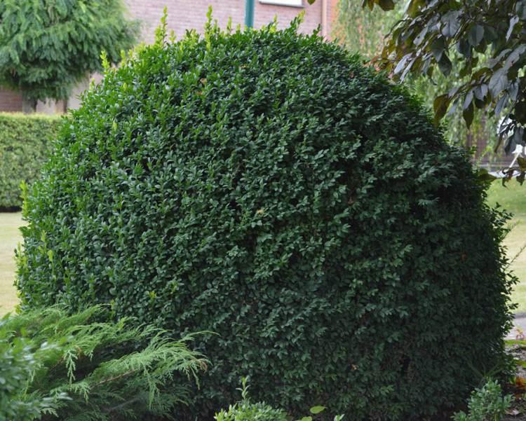 buchsbaum-kugel Quelle: pflanzmich.de