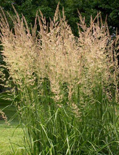 garten-reitgras_calamagrostis-x-acutiflora-karl-foerster1 Quelle: pflanzmich.de