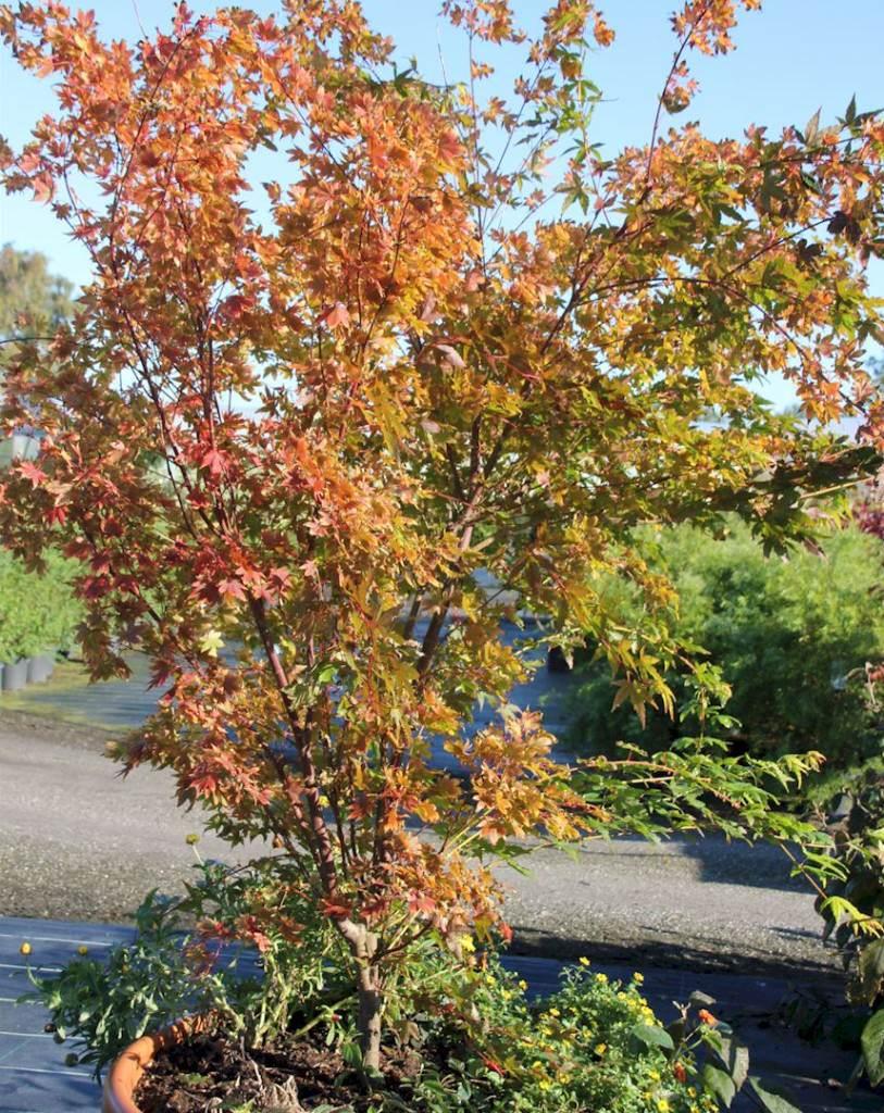 Acer palmatum Sangokaku - Korallenahorn Quelle: pflanzmich.de